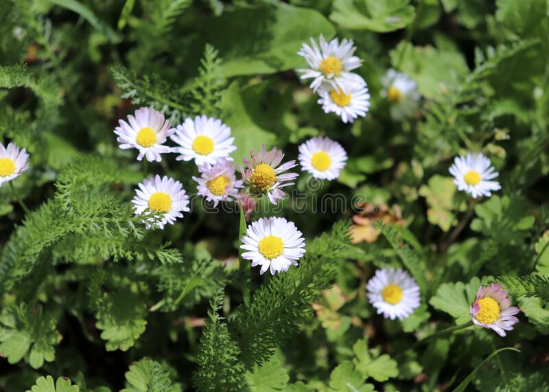 Blå Bellis perennis-blommor i ängsmark Bellis är ett släkte av blommande växter i familjen Daisy Genus innehåller royaltyfri fotografi