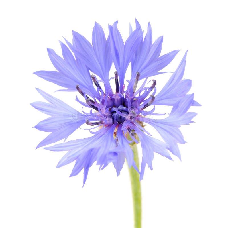 Blå blåklintnärbild på vit bakgrund royaltyfria foton