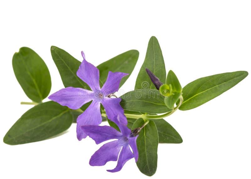 Blå blomma av vintergrönan, lat Vinca som isoleras på den vita backgroen royaltyfri bild