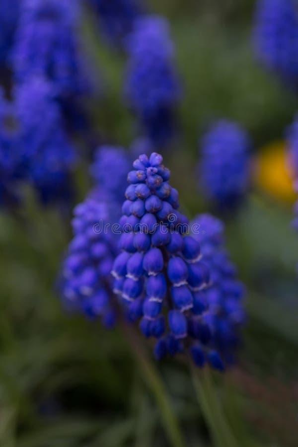Blå blomma, druvahyacint i våren, lodlinje royaltyfria foton