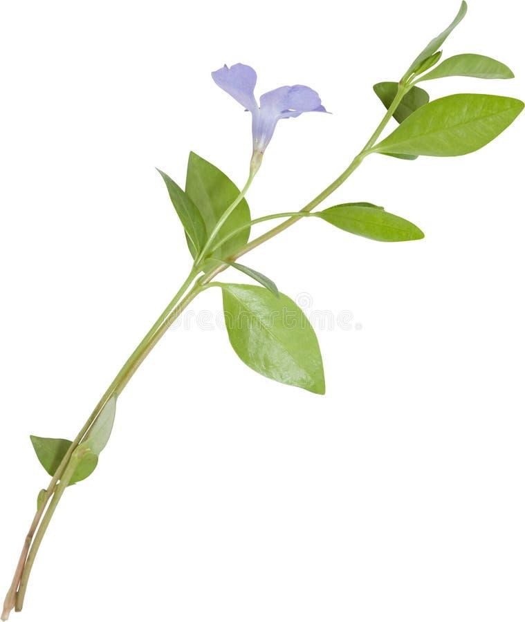blå blomma isolerad vintergröna arkivfoto