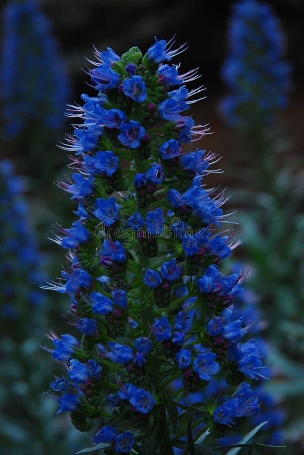 Blå blommaclose upp arkivfoto