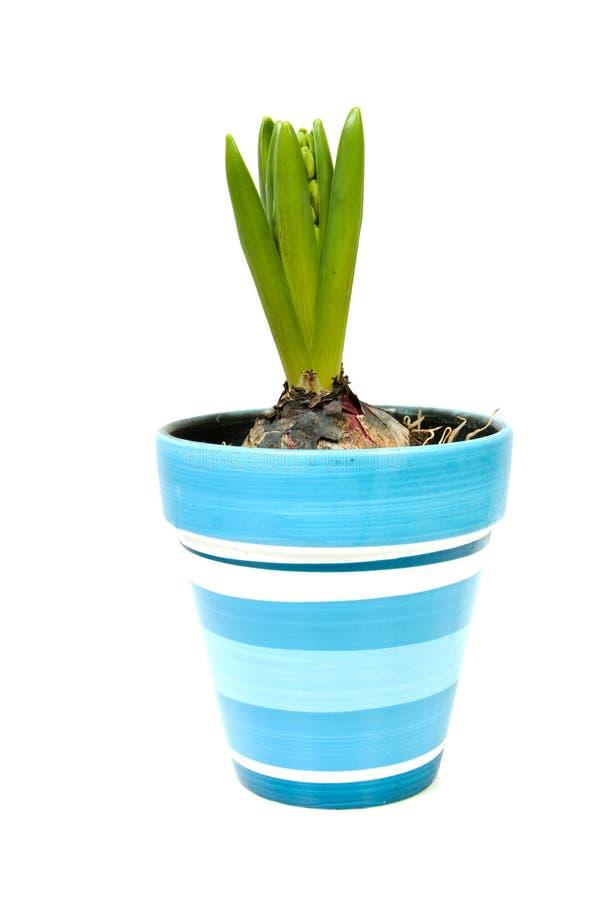 blå blommahyacintkruka fotografering för bildbyråer