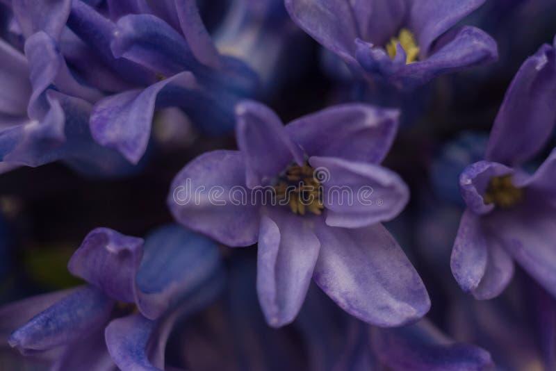Blå blommor av hyacint arkivfoto