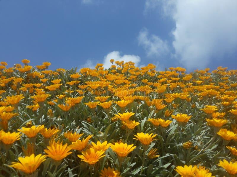 Blå blommor, gula moln royaltyfria bilder