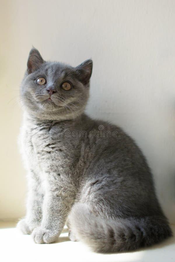 blå brittisk kattunge royaltyfri foto