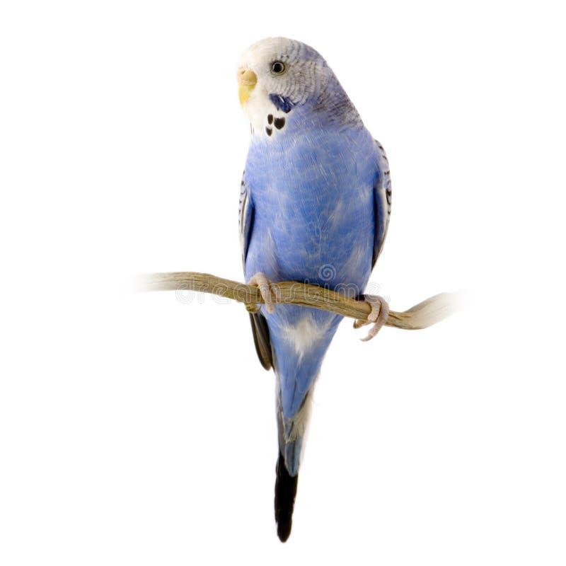 blå budgiewhite