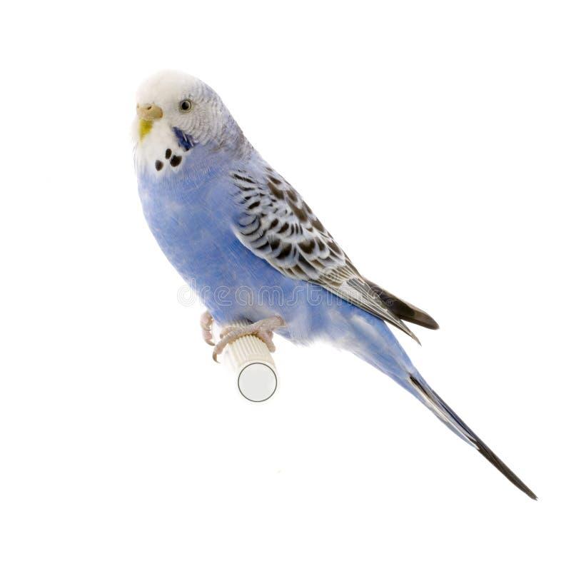 blå budgiewhite royaltyfria bilder