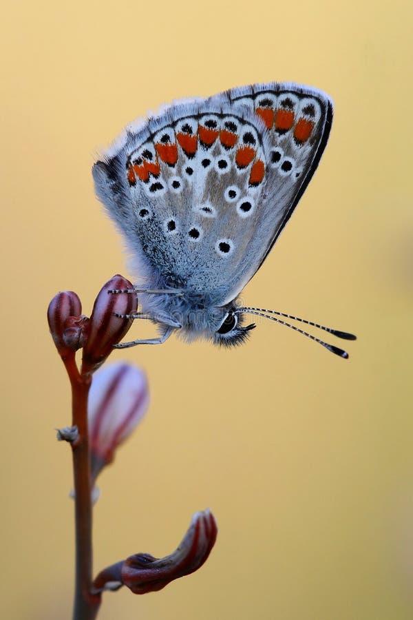 blå common arkivfoton