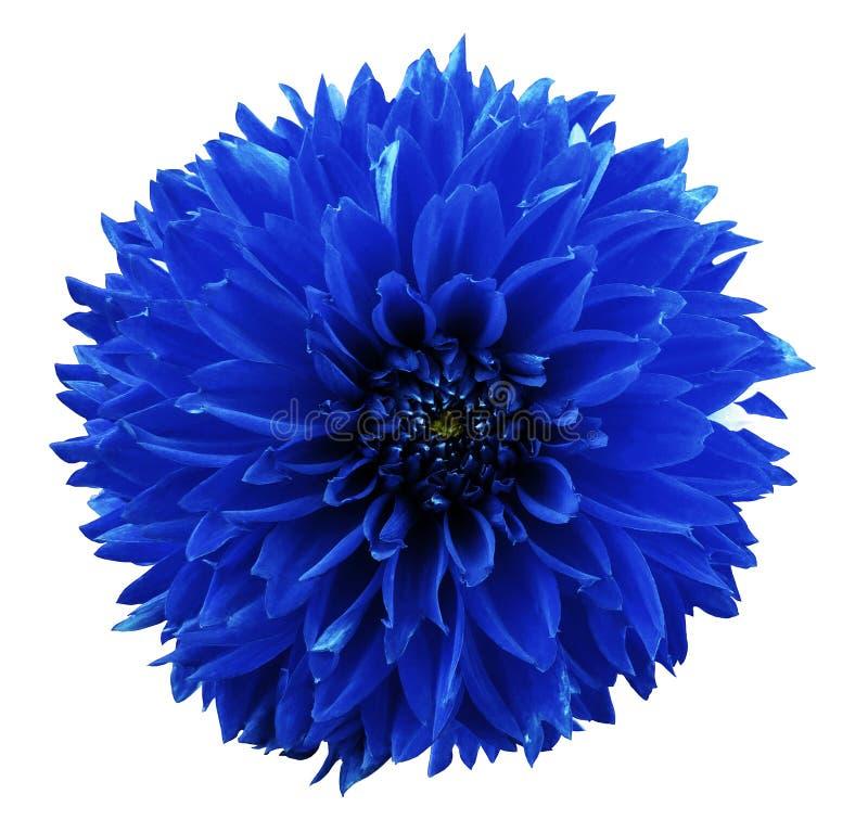 Blå dahlia för blomma Vit isolerad bakgrund med den snabba banan closeup Inget skuggar För design arkivbild