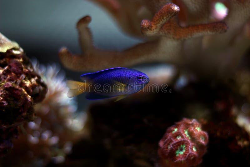 Blå Damselfish - Chrysiptera taupou royaltyfria foton