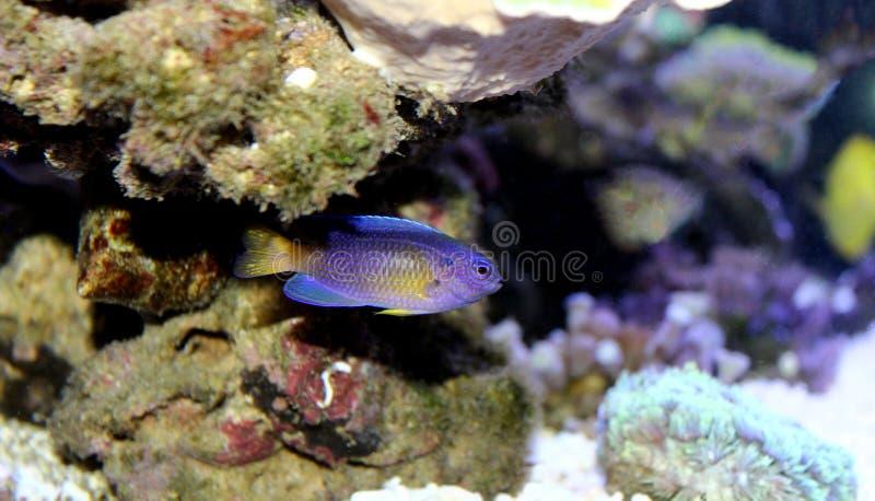 Blå Damselfish - Chrysiptera taupou arkivfoton