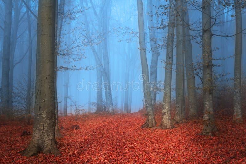Blå dimmig dag och röda sidor i sagaskog fotografering för bildbyråer