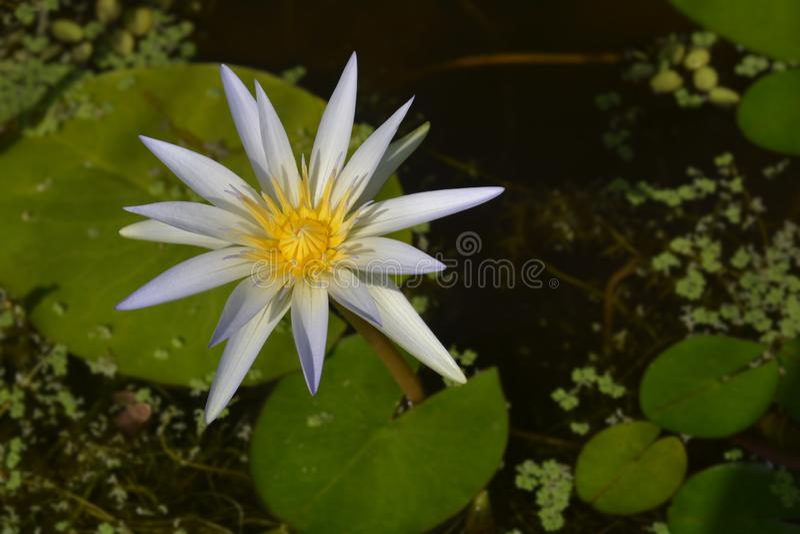 Blå egyptisk lotusblomma royaltyfri fotografi