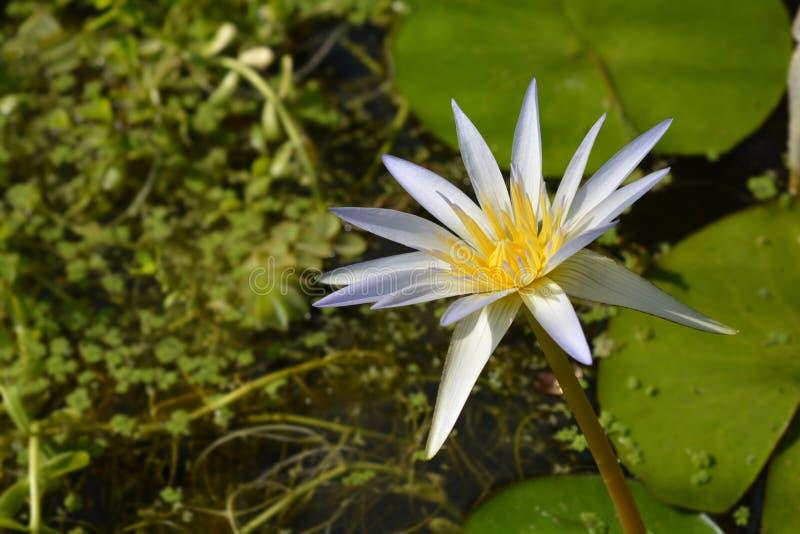 Blå egyptisk lotusblomma arkivfoto
