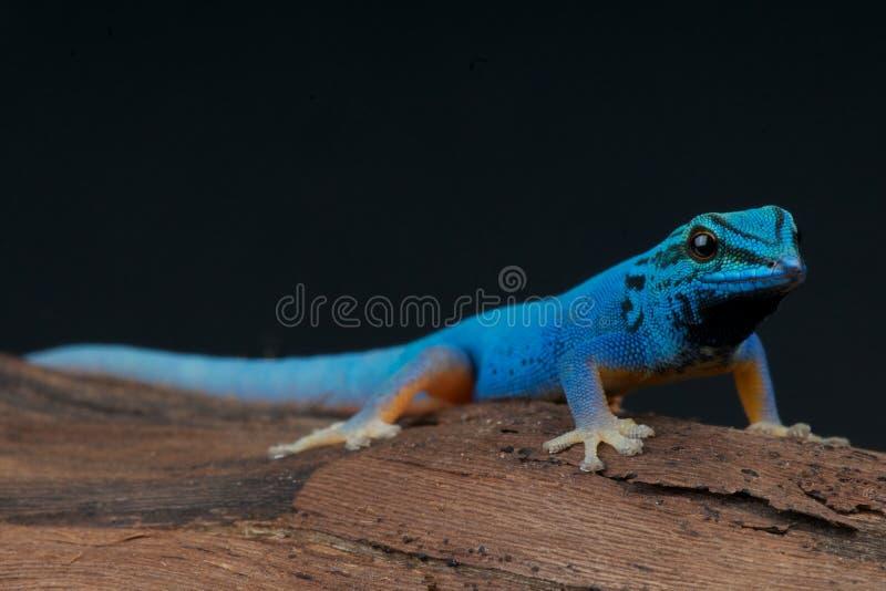 blå elektrisk gecko arkivbild