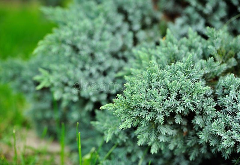 Blå en Bush för evergreen arkivfoton