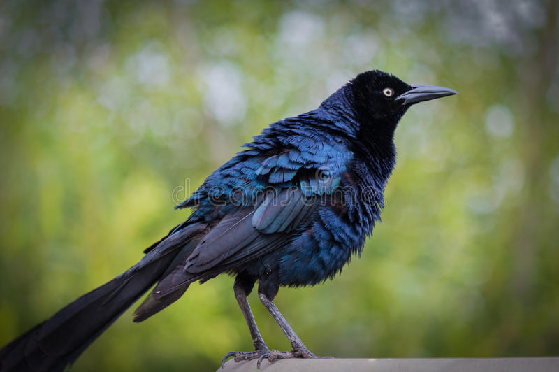 Blå fågel som är klar för flyg royaltyfri bild