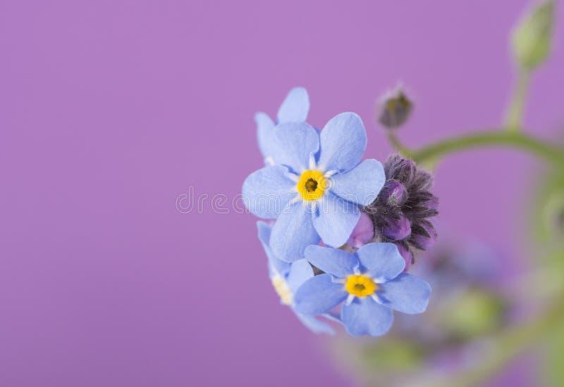 Blå förgätmigejblomma för läckerbit på lilor royaltyfri fotografi