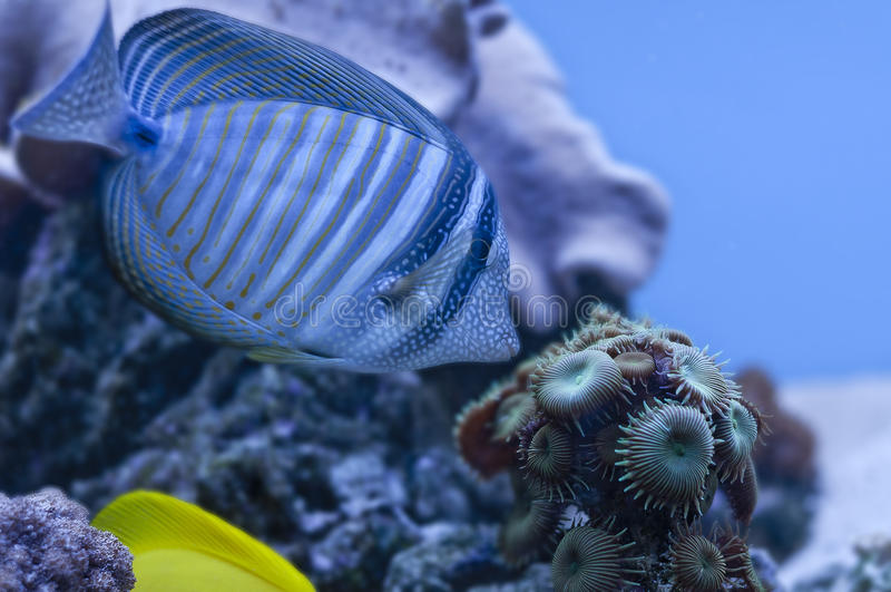 blå fisk fotografering för bildbyråer