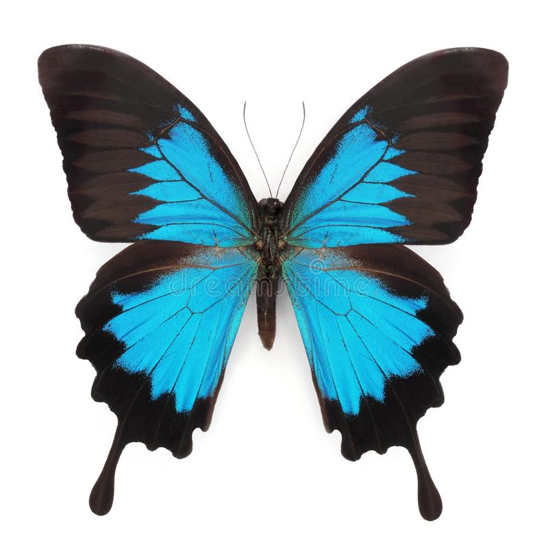 blå fjäril royaltyfri bild
