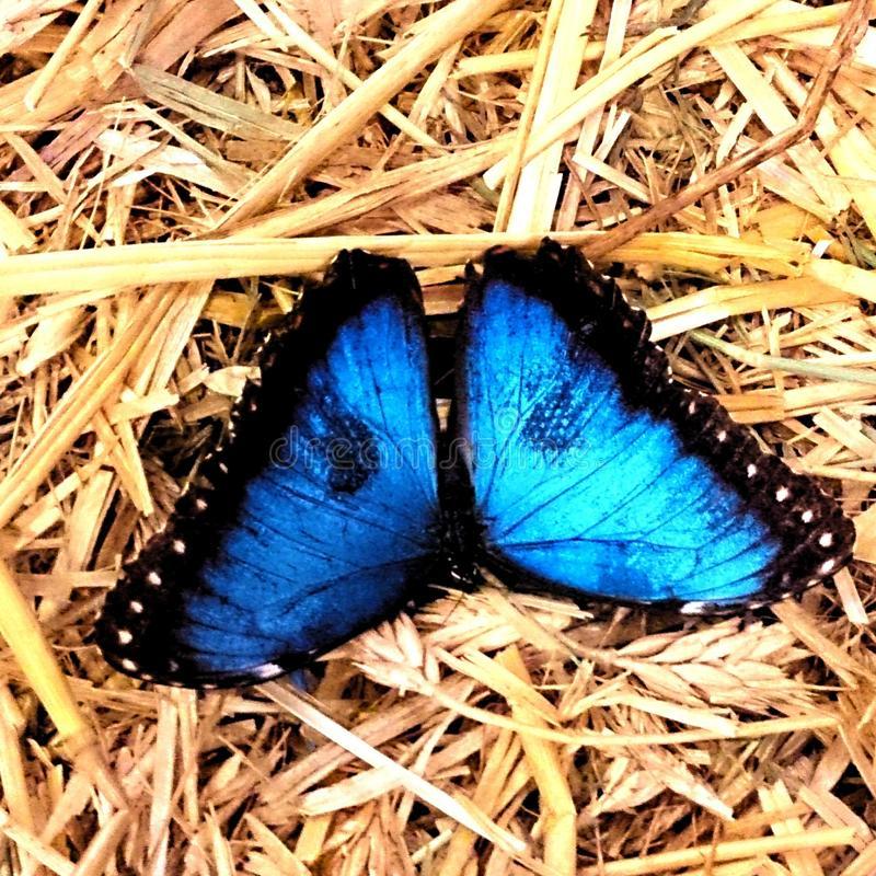 blå fjäril royaltyfri foto