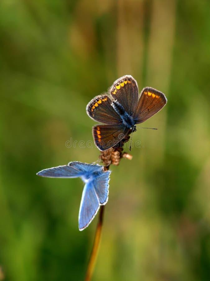 Blå fjäril för par royaltyfria foton
