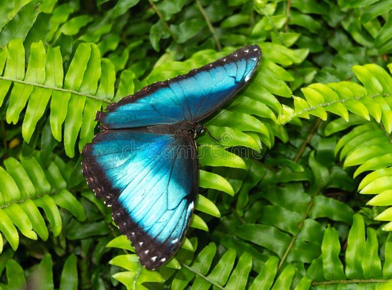 Blå fjäril i drivhus arkivbilder