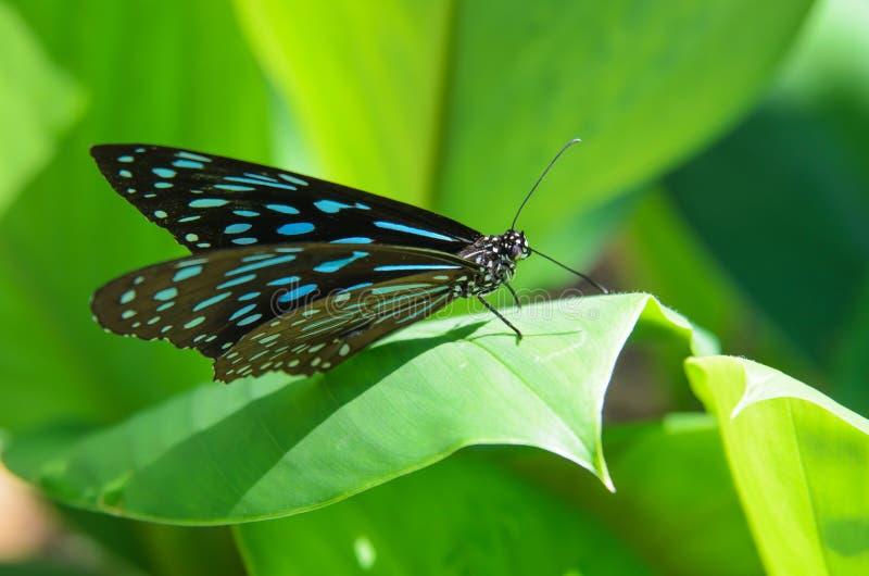 Blå fjäril och gräsplansidaväxt arkivfoton