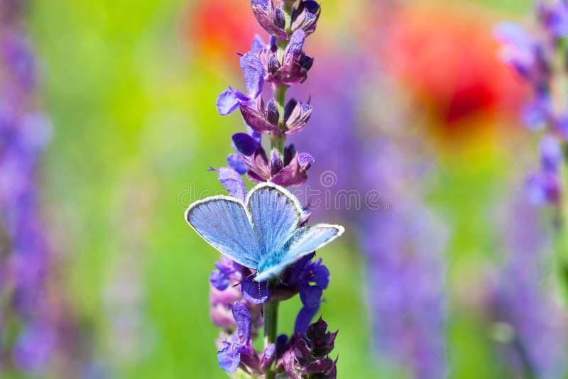 Blå fjäril på den purpurfärgade lösa blomman royaltyfria foton