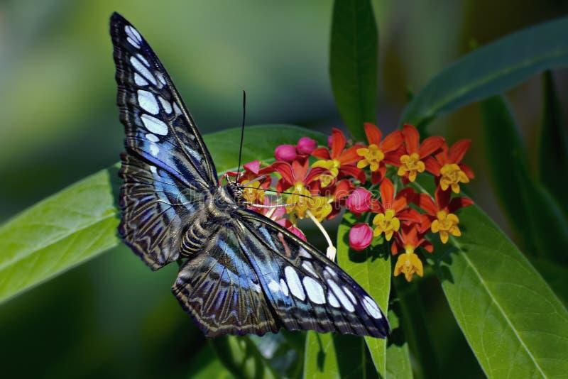 blå fjärilsclipper royaltyfri foto