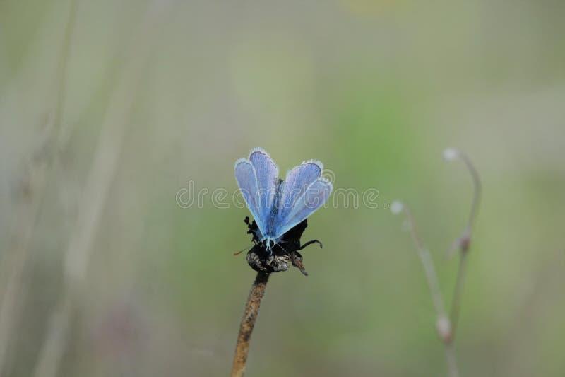 blå fjärilscommon arkivbild