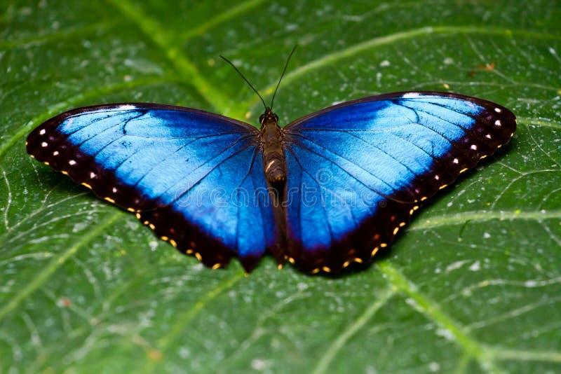 blå fjärilsmorpho royaltyfria foton