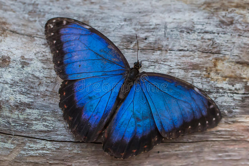 blå fjärilsmorpho arkivbilder