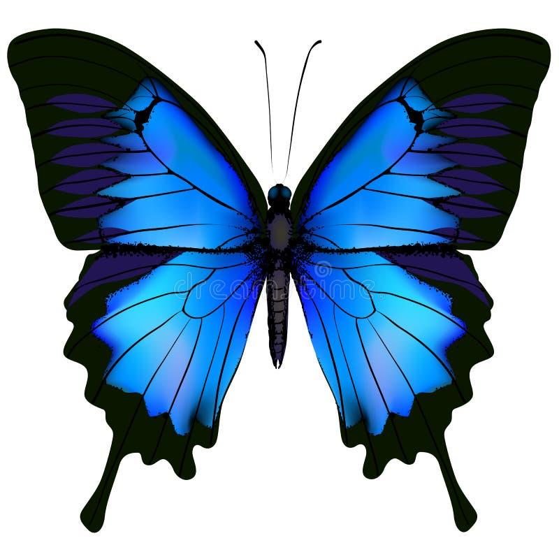 Blå fjärilspapilio ulysses Berget Swallowtail isolerade stock illustrationer