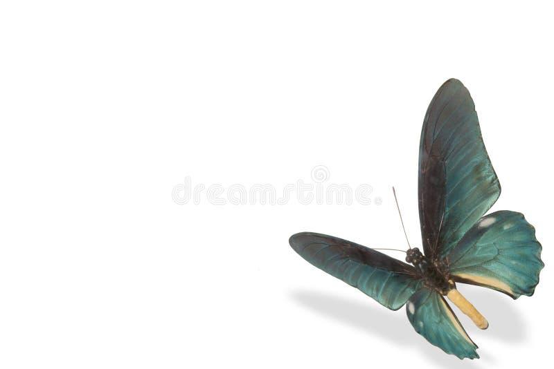 blå fjärilswhite för bakgrund arkivbilder