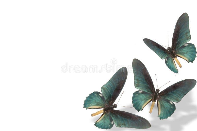 blå fjärilswhite för bakgrund royaltyfri foto