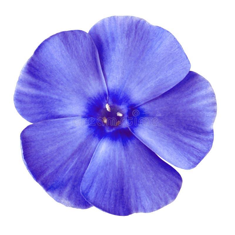 Blå flox för blomma som isoleras på vit bakgrund Närbild royaltyfria bilder