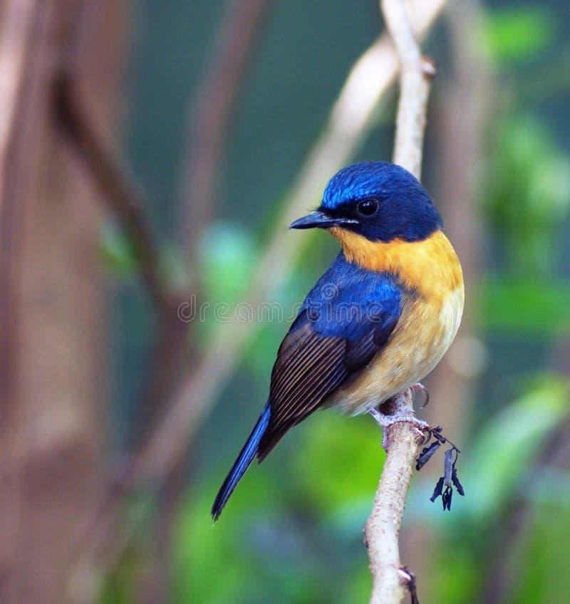 Blå flugsnappare för kulle fotografering för bildbyråer