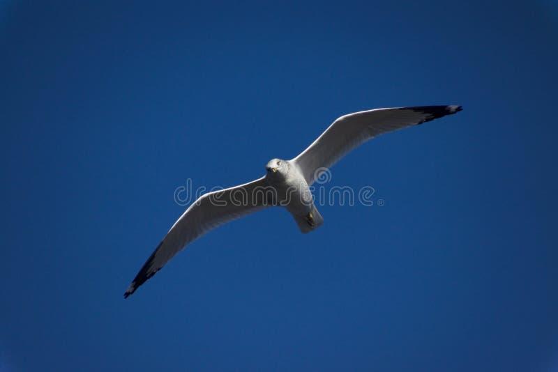 blå flygseagullsky arkivfoto