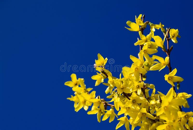 blå forsythiasky royaltyfri fotografi
