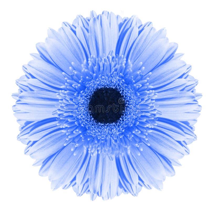 Blå gerberablomma arkivbild