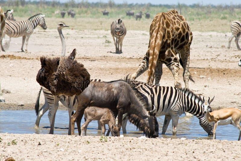 Blå gnu med kalven, strutsen, sebror, giraffet och springbocken på waterholen arkivbild