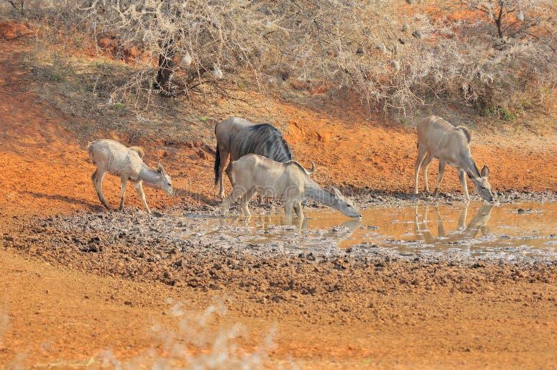 Blå gnu och kudu royaltyfria bilder