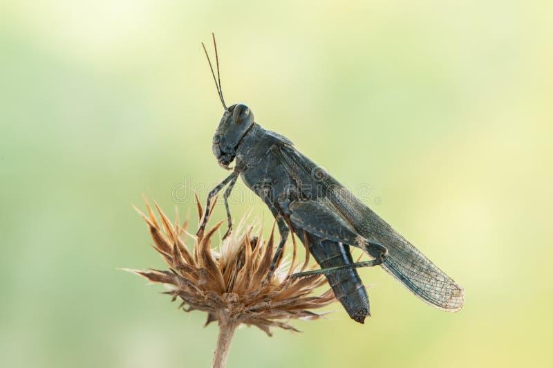 blå gräshoppa på ett grässtrå på en sommardag royaltyfri bild