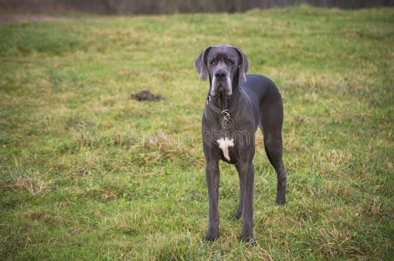 Blå great dane hund royaltyfria bilder