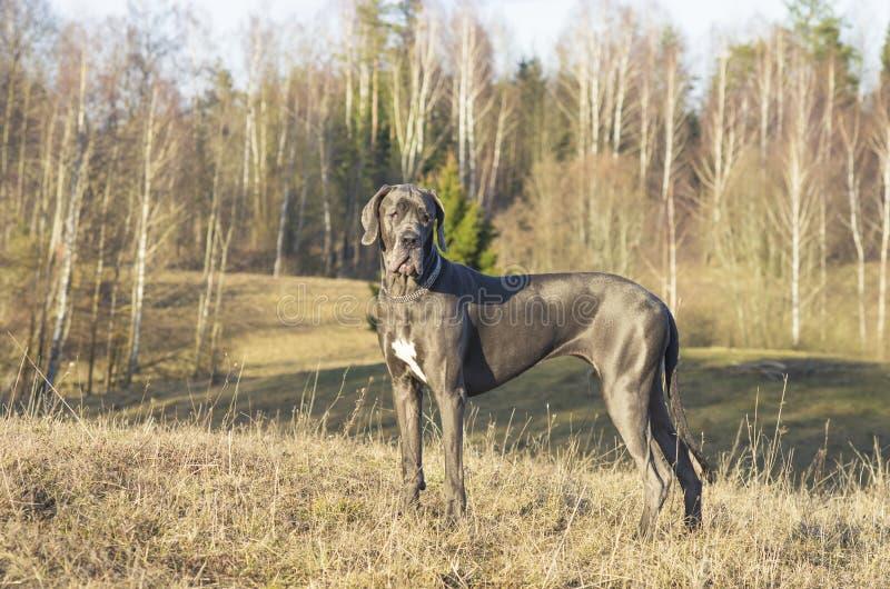 Blå great dane hund fotografering för bildbyråer
