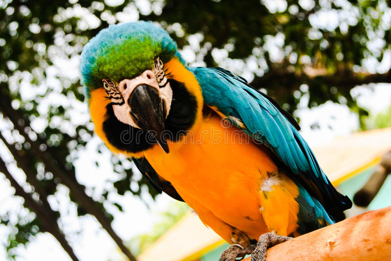 Blå & gul ara arkivfoton