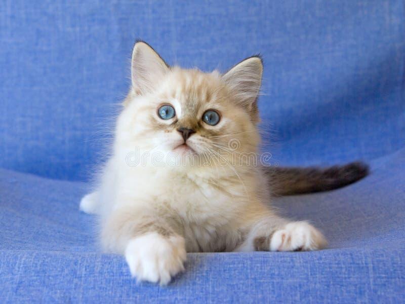 blå gullig kattungeragdoll för bakgrund fotografering för bildbyråer