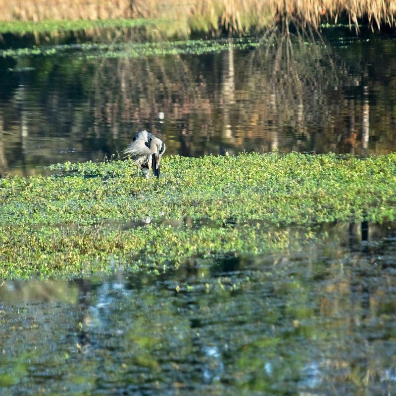 Blå häger i dammlokalvård som itselfCleaning sig royaltyfria bilder